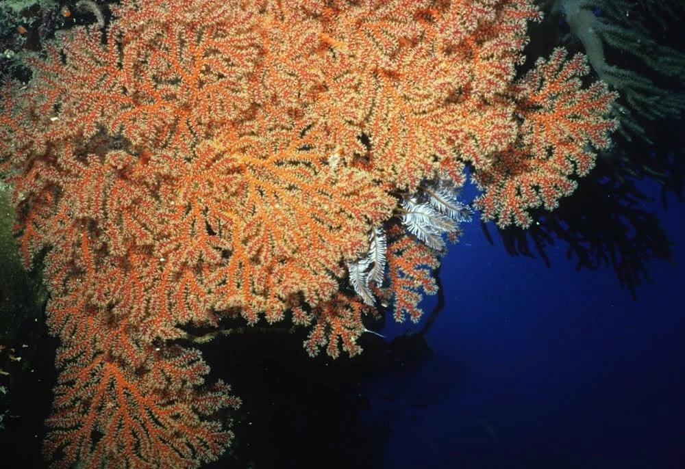 Orange Gorgonian