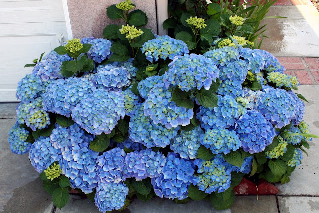 These Hydrangeas Were Planted On Both Sides Of Our Front Yard (by The  Driveway) To Create A Joyful Welcome To Everyone. Adding Aluminum Sulfate  (such As ...