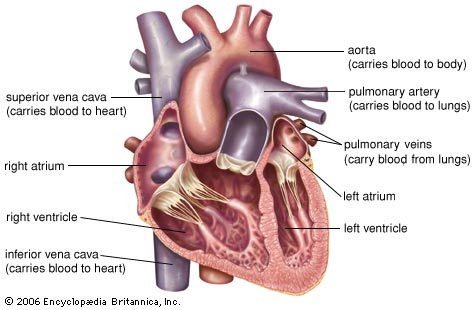 The Human Heart; Uncommon Facts ~ Healthy Living Nigeria