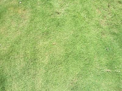 cara menanam rumput jepang