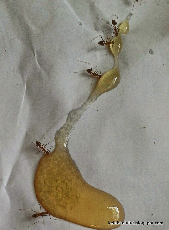 Semut Liar Merah Perosak Sarang Kelulut