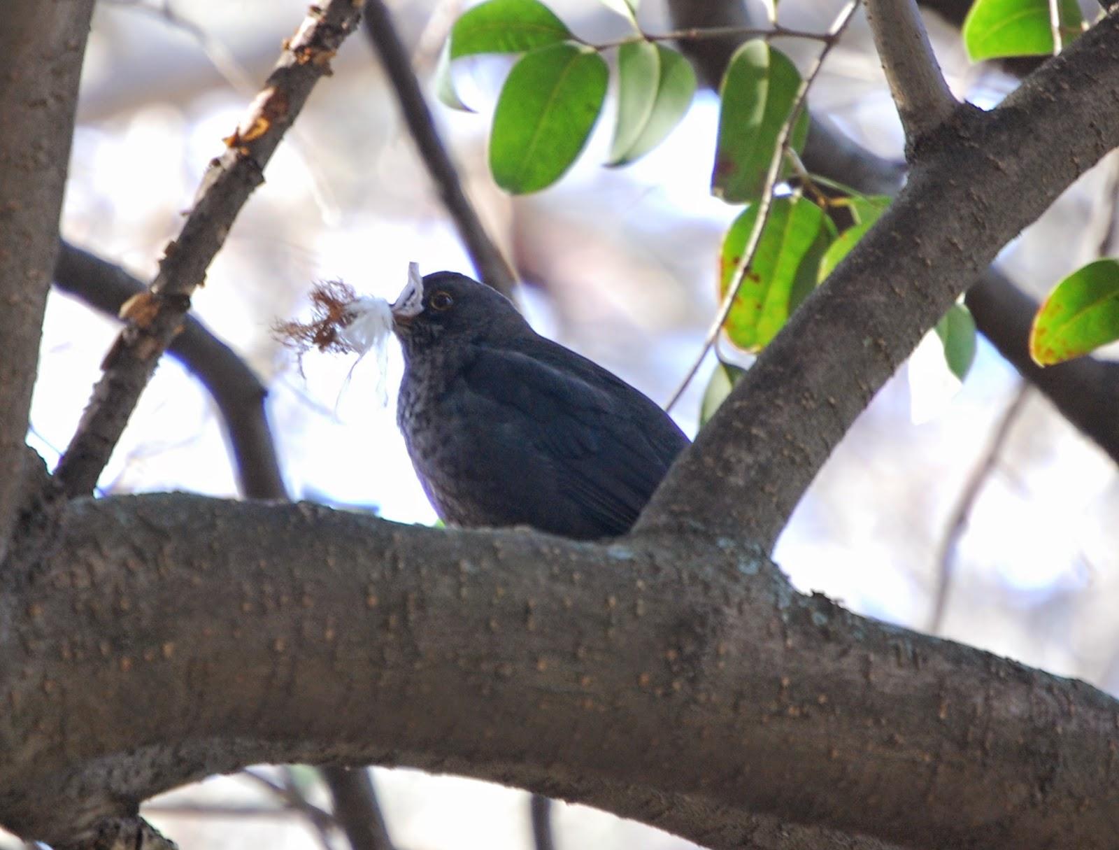 Blog Go Tandem - Itinerario Ornitológico Parque Oeste - Mirlo