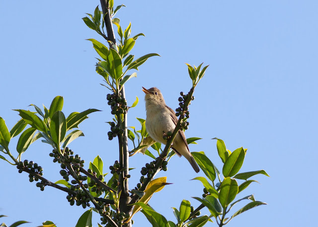 Melodious Warbler - West Midlands