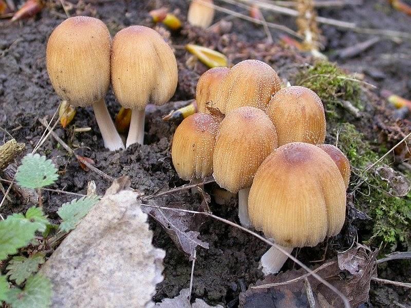 Buretele cu mică, Buretele sclipitor (Coprinellus micaceus)