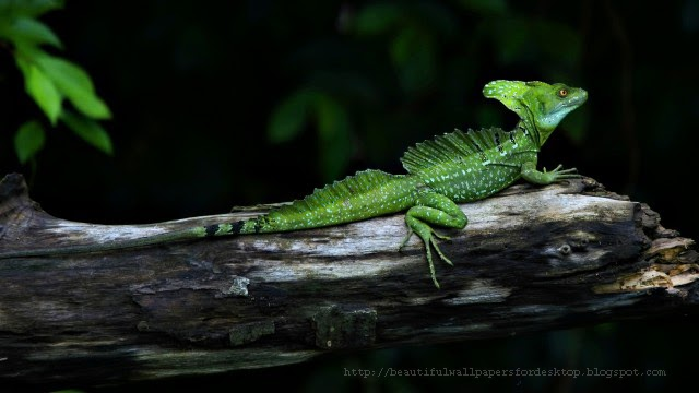 beautiful Lizard wallpapers hd