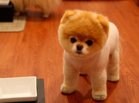 Shaved Pomeranian 88