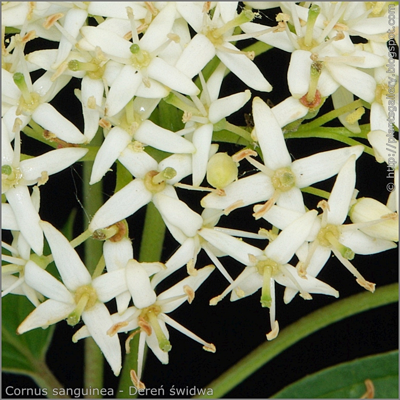 Cornus sanguinea flowers - Dereń świdwa kwiaty