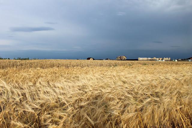 Таганрог, петрушино, красота, поле, пшеница, деревня