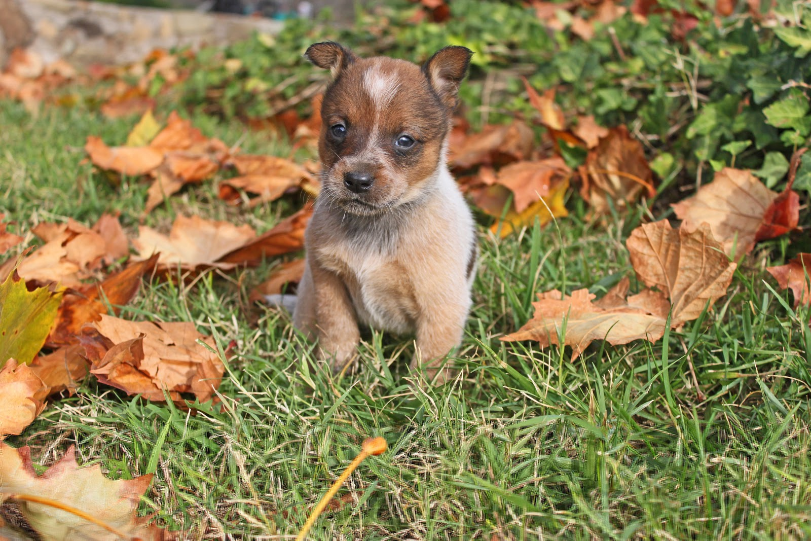 Queensland Heeler Puppy Dogs For Sale in Ventura County, Southern ...