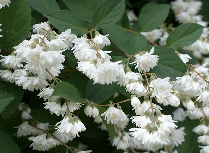 Hortus italicus deutzia gracilis siebold zucc - Pianta da giardino con fiori bianchi ...