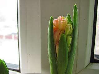 первоцветы, гиацинт, выгонка цветов, солнышко на подоконнике, весенние цветы, луковичные, первоцветы зимой, как заставить цвести первоцветы зимой