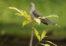 Oriental Cuckoo_2011