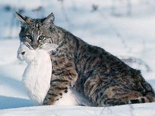 Дикий кот кавказский