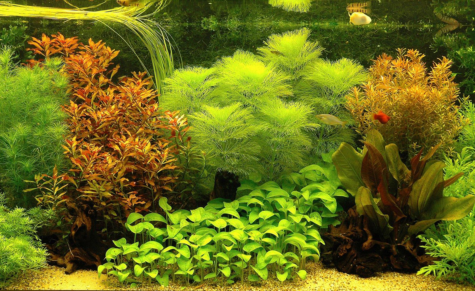 Background Aquarium Plant | Background Desktops Pics