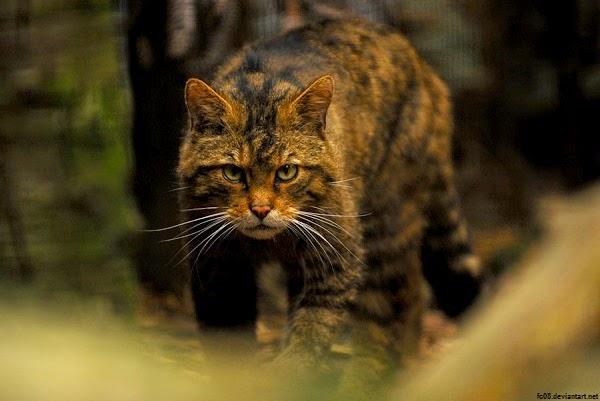 Photo magnifique chat sauvage