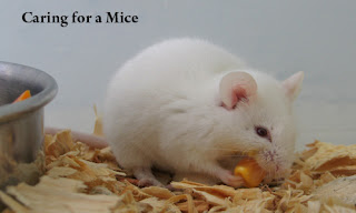 Caring For a Mice