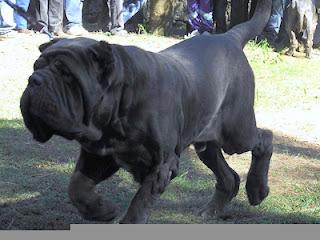 4. Neapolitan Mastiff