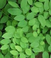 Benefits katuk leaves
