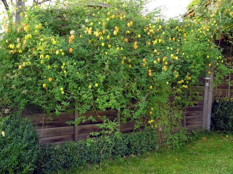 seminte si plante de gradina hobby clematis tangutica. Black Bedroom Furniture Sets. Home Design Ideas