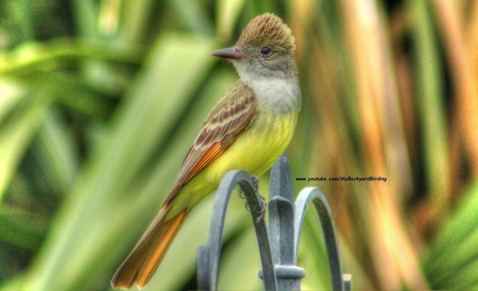 male Great Crested Flycatcher Calling