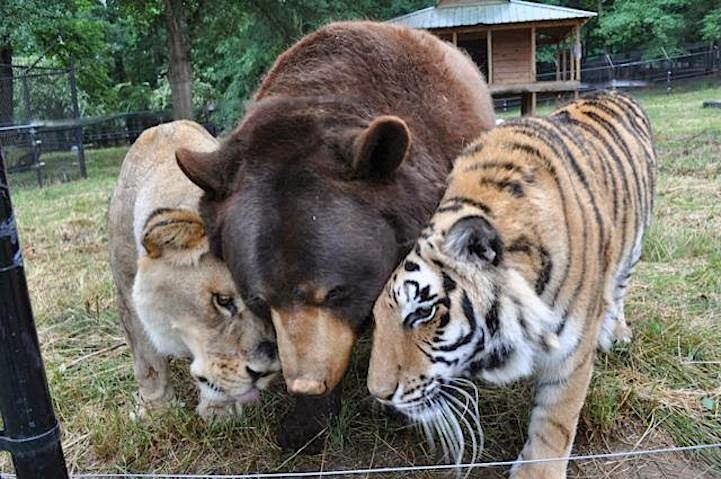 Bear, tiger and lion living at Noah's Ark