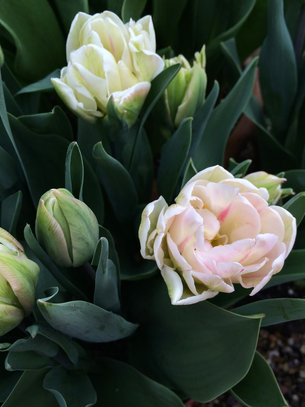 White and blush pink Finola tulips