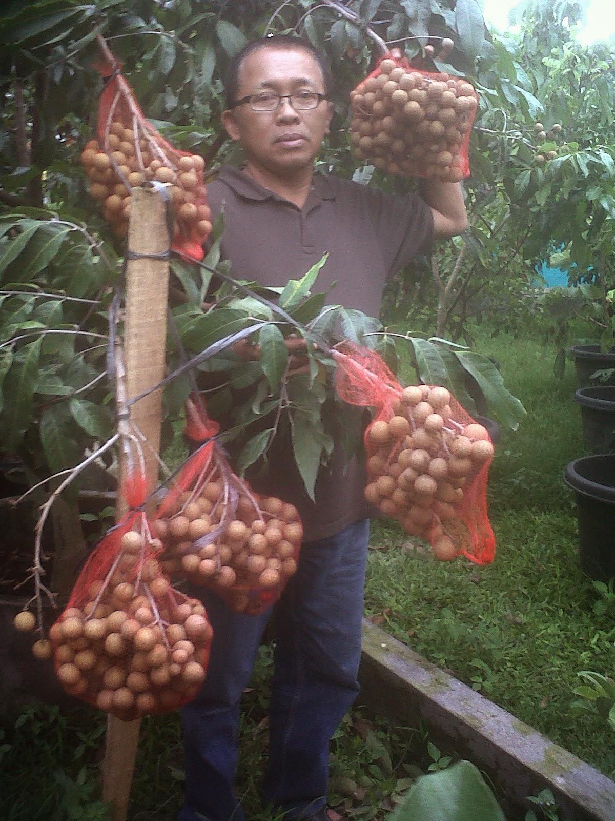 Pohon Kelengkeng Itoh Super