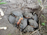 Tim&#39;s Fertile Turtles!