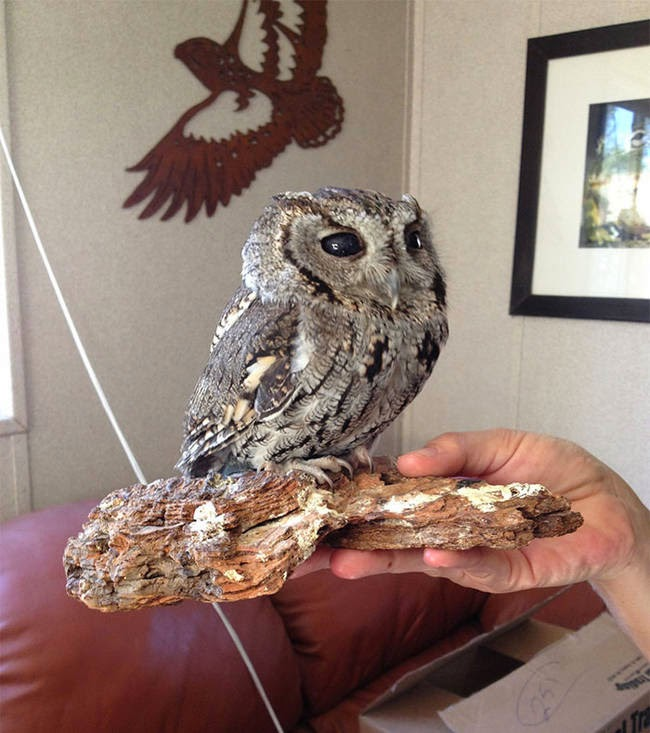 So now, he called the facility home and even has his own perch right next to founder Paul Hahn's desk. - It Appears This Gorgeous Blind Owl Has Awe Inspiring Constellations In His Eyes