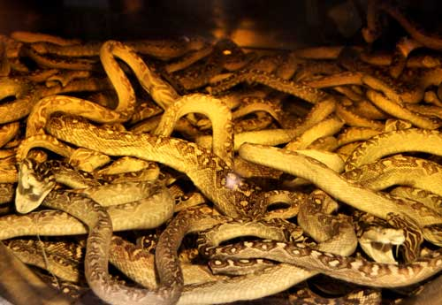 Habu snakes at Okinawa World.