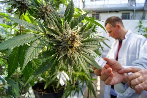 Cannabis e acne