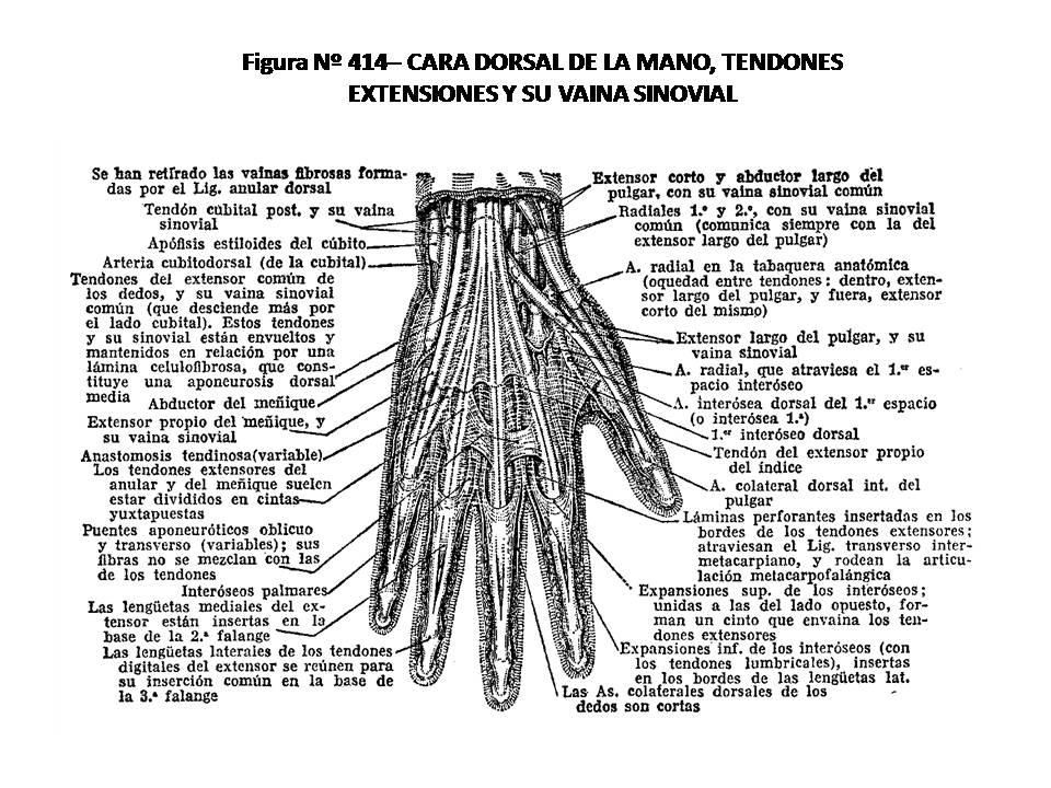 ATLAS DE ANATOMÍA HUMANA: 414. LA MANO, TENDONES EXTENSORES Y SU ...