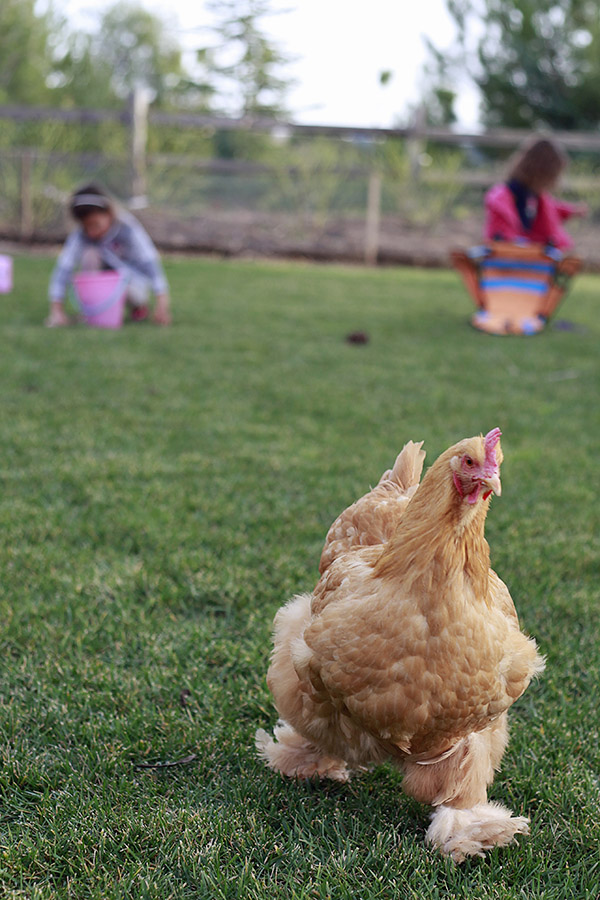 all about raising chickens and eggs yummy mummy kitchen