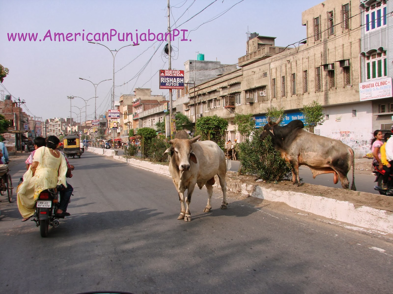 Amritsar, Punjab, India, cows, buffalo, intercultural, expat