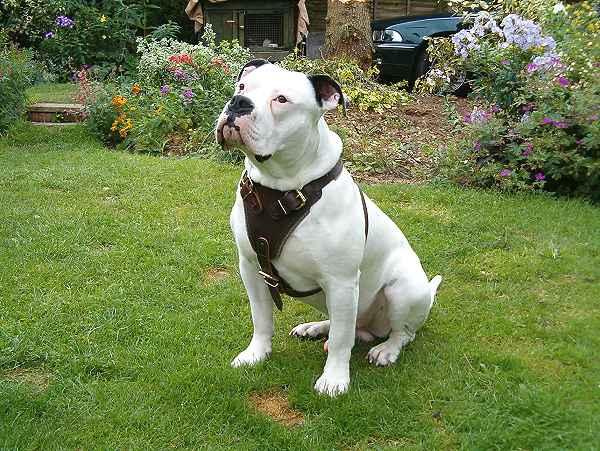 american bulldog pictures. pictures American Bulldog