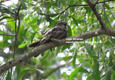 Grey Nightjar in Bidadari