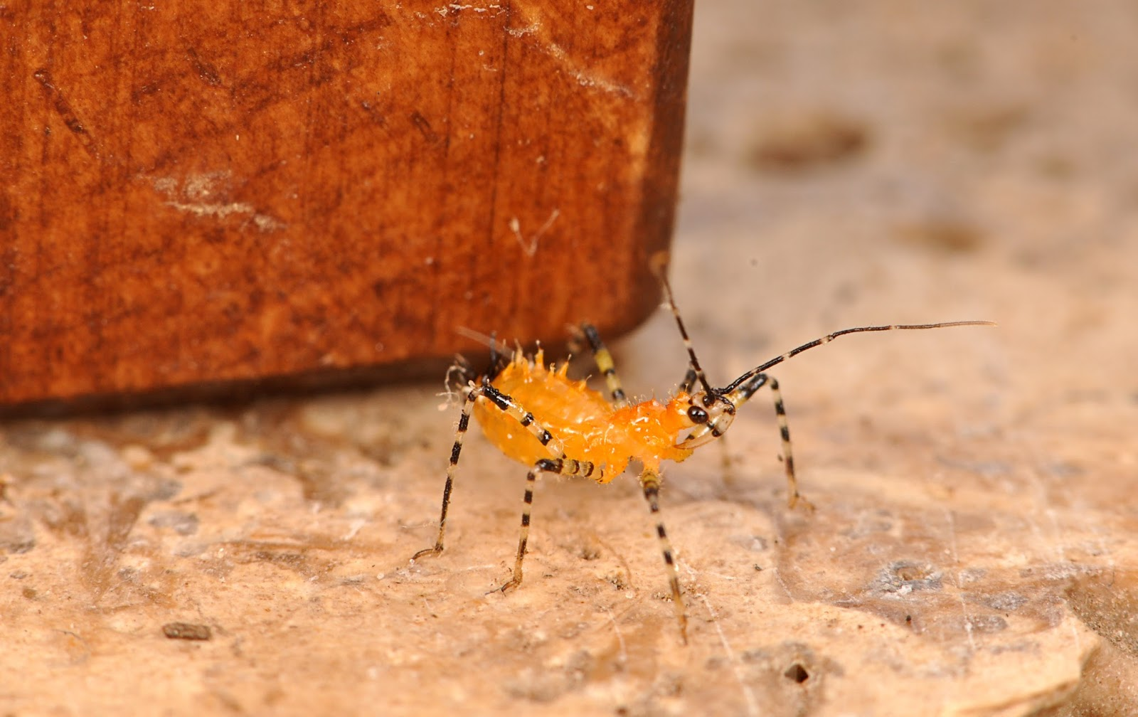 Members of the genus Pselliopus are small  common assassin bugs with  distinct rings around their appendages and along the body  This nymph   found crawling. NCSU PDIC  Kissing Bugs and Chagas Disease in NC