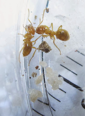 Acropyga ants and their dependent mutualistic aphids