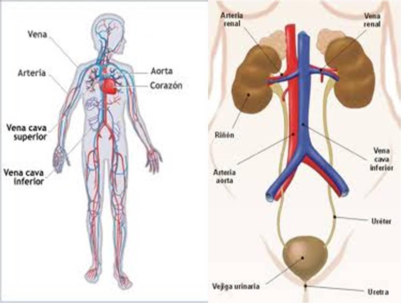 LOS SISTEMAS DE NUTRICIÓN DEL CUERPO HUMANO.: Los organos y su función.