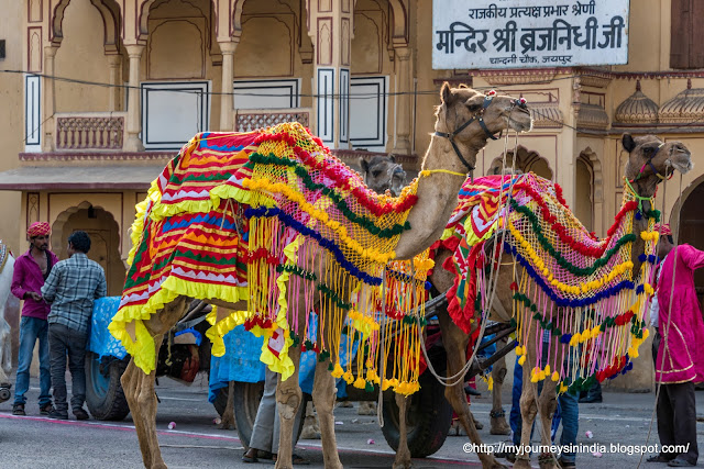 Beautifully dressed Camels Rajasthan