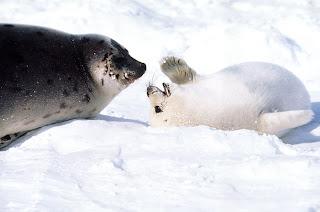 mãe foca e foquinha