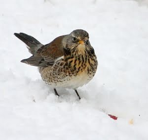 Fieldfare