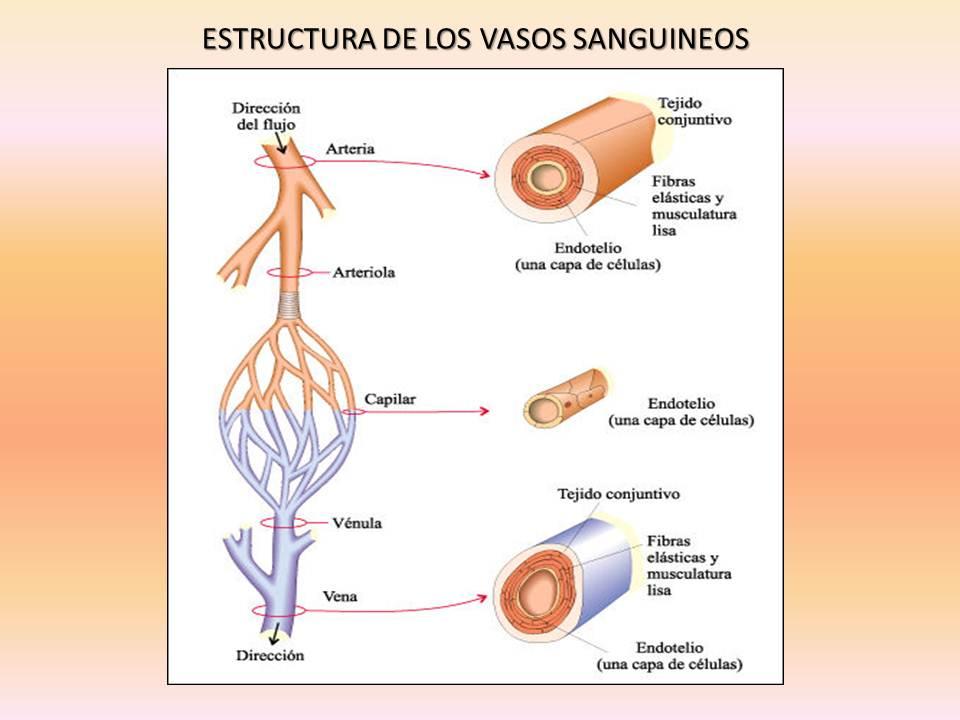 Fisiología Humana: Estructura de los vasos sanguineos