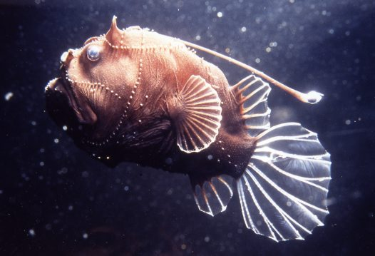 Do your homework better and faster for What is an angler fish