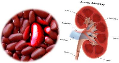 SIMILITUDE ENTRE LE CORPS HUMAIN ET LES FRUITS ET LEGUMES dans similitude entre le corps humain et les légumes 1Kidney-Beans