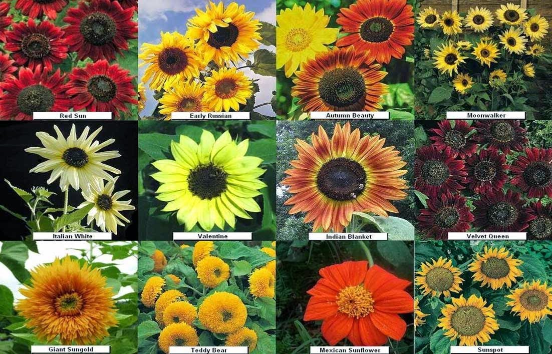 Gambar Jenis Bunga Matahari