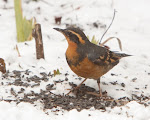 Varied Thrush Sighting Near Paramount Park