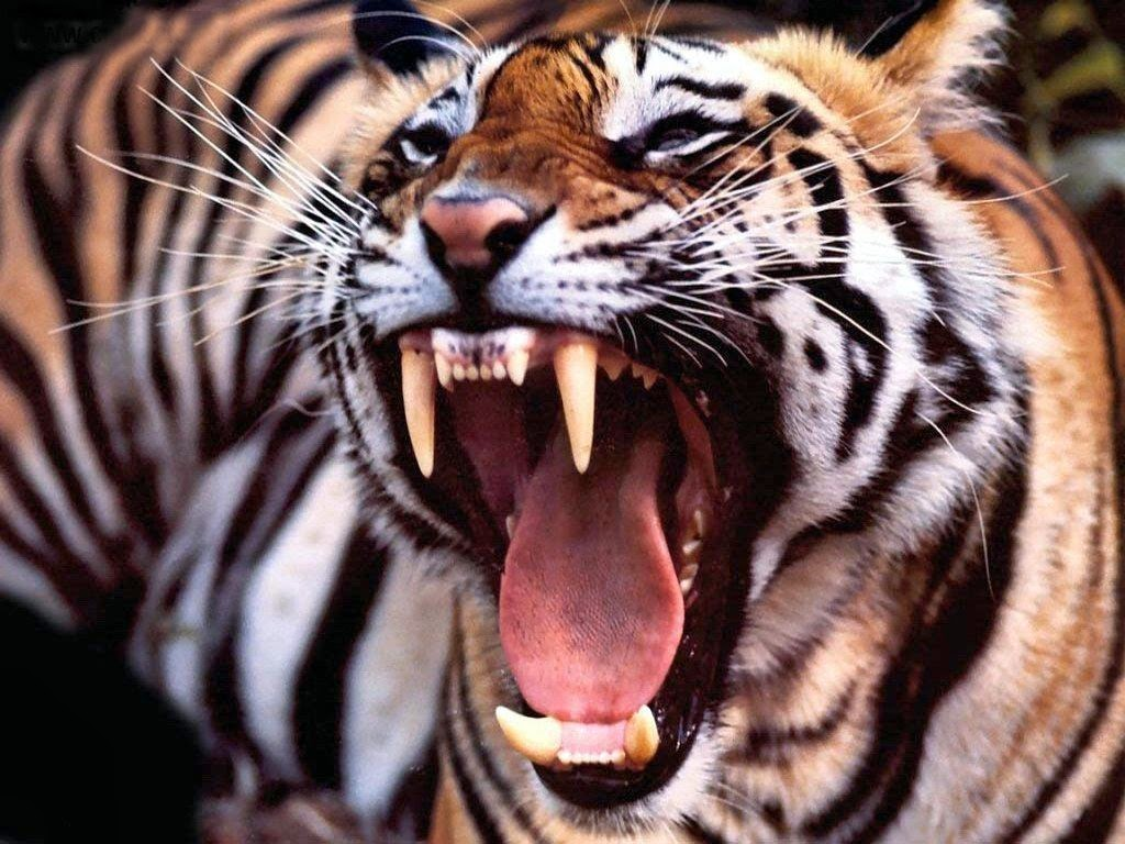 angry tiger photos - photo #39