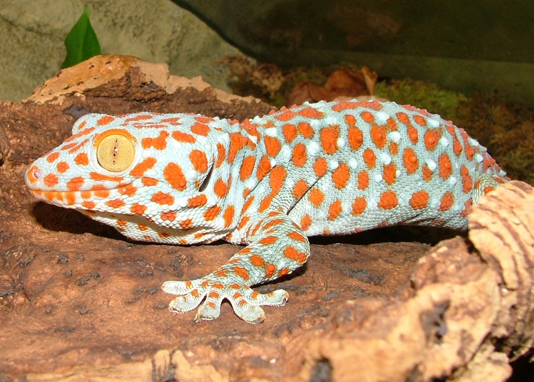 hunting of tuko The tokay gecko is known  tuko in the philippines  the tokay gecko is quickly becoming a threatened species in the philippines due to indiscriminate hunting.