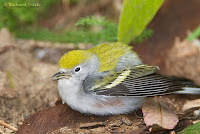 Chestnut-sided Warbler, female
